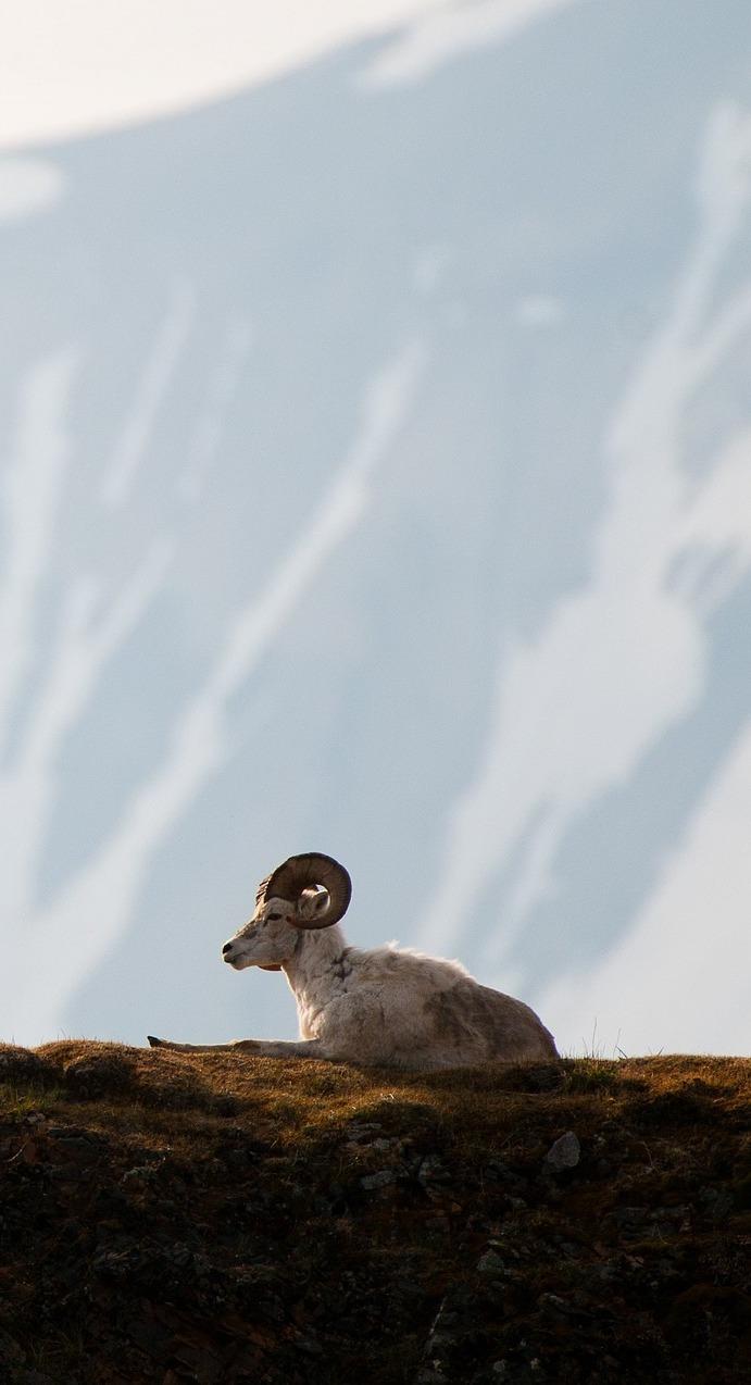 A mountain sheep.