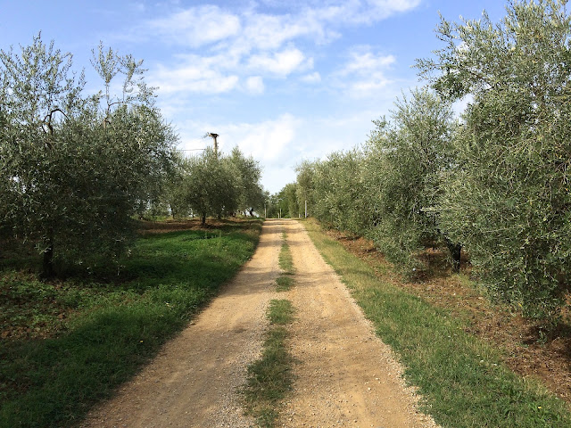 a olive tree lined dirt road