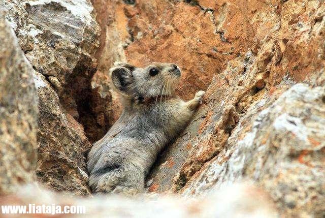 Hewan Aneh Mirip Kelinci di pegunungan dan terbukti Spesies Baru