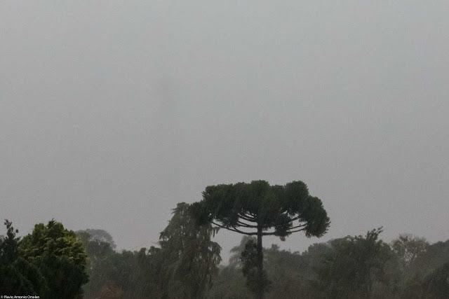 E chove nas araucárias