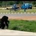 The Wild Moment A Gorilla Broke Out Of UNILORIN's Zoo (Video)