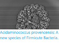 https://sciencythoughts.blogspot.com/2019/06/acidaminococcus-provencensis-new.html