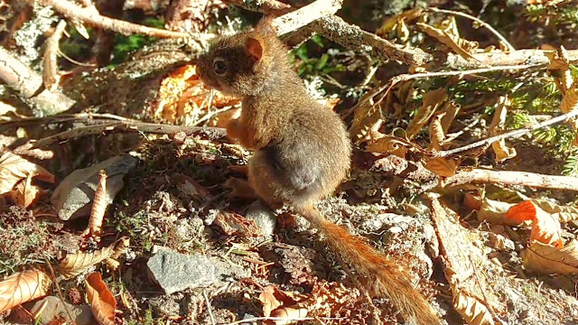 Cute Baby Squirrel On The Trail - Red Squirrel Warning Call!
