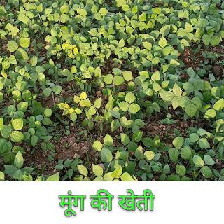 मूँग की खेती Cultivation of green gram