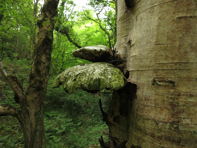 Two dilapidated bracket fungi (green and cream and drooping on trunk of tree.