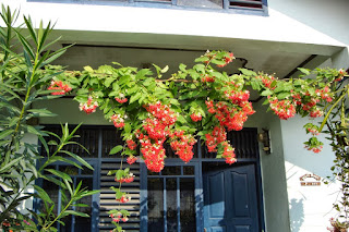 Jual Tanaman Rambat Melati Belanda Bunga Merah