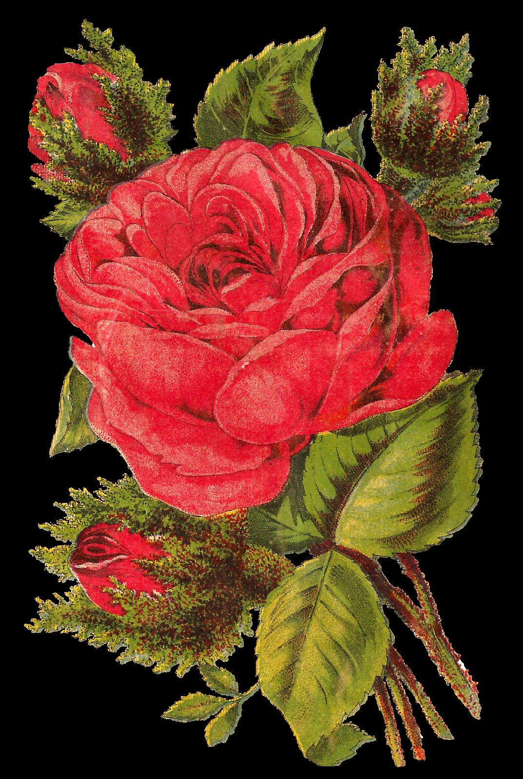 Antique Images: Free Red Rose Digital Clip Art Seed Catalog Botanical Flower Artwork Download