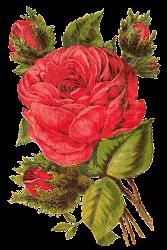 rose digital clip flower artwork illustration clipart botanical catalog seed