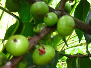 batuan fruit images