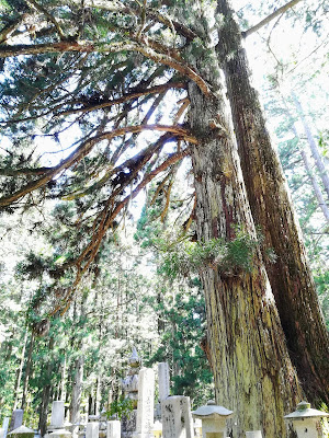 奥之院 杉