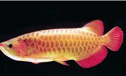 Ikan Hias Air Tawar Termahal arwana