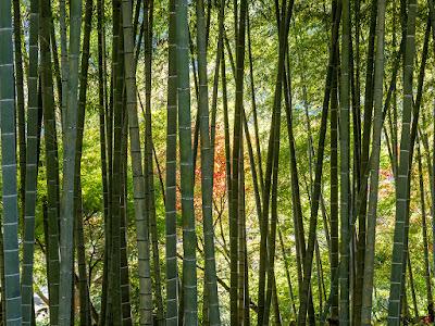 Bamboo grove: Kencho-ji