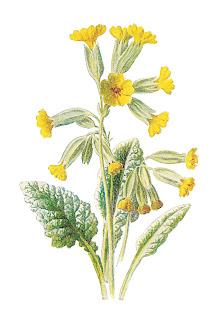flower free wildflower cowslip old botanical artwork illustration digital image