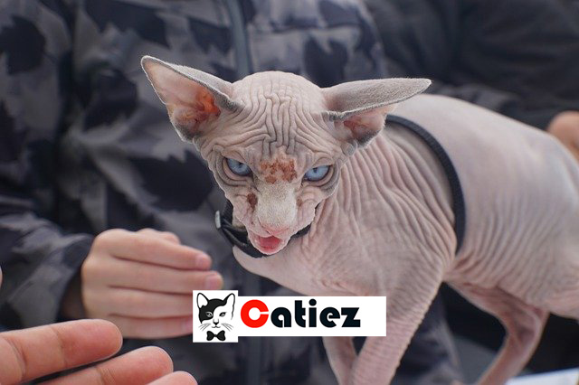 Cats Breeds - 15 RARE and UNIQUE Cat Breeds that actually exist