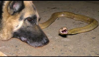 Gambar anjing herder yang digigit ular kobra