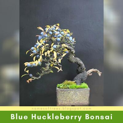 Blue Huckleberry Bonsai