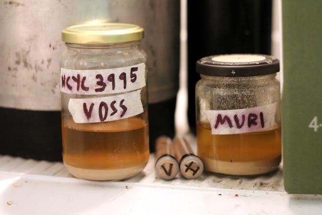 Four samples of kveik.
