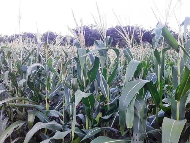 boa safra de milho na região de Irecê