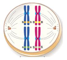 Pada metafase 1, jika kromosom berjajar dengan posisi seperti pada gambar berikut, maka macam gamet yang akan terbentuk adalah?