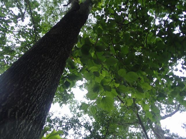 Anogeissus acuminata