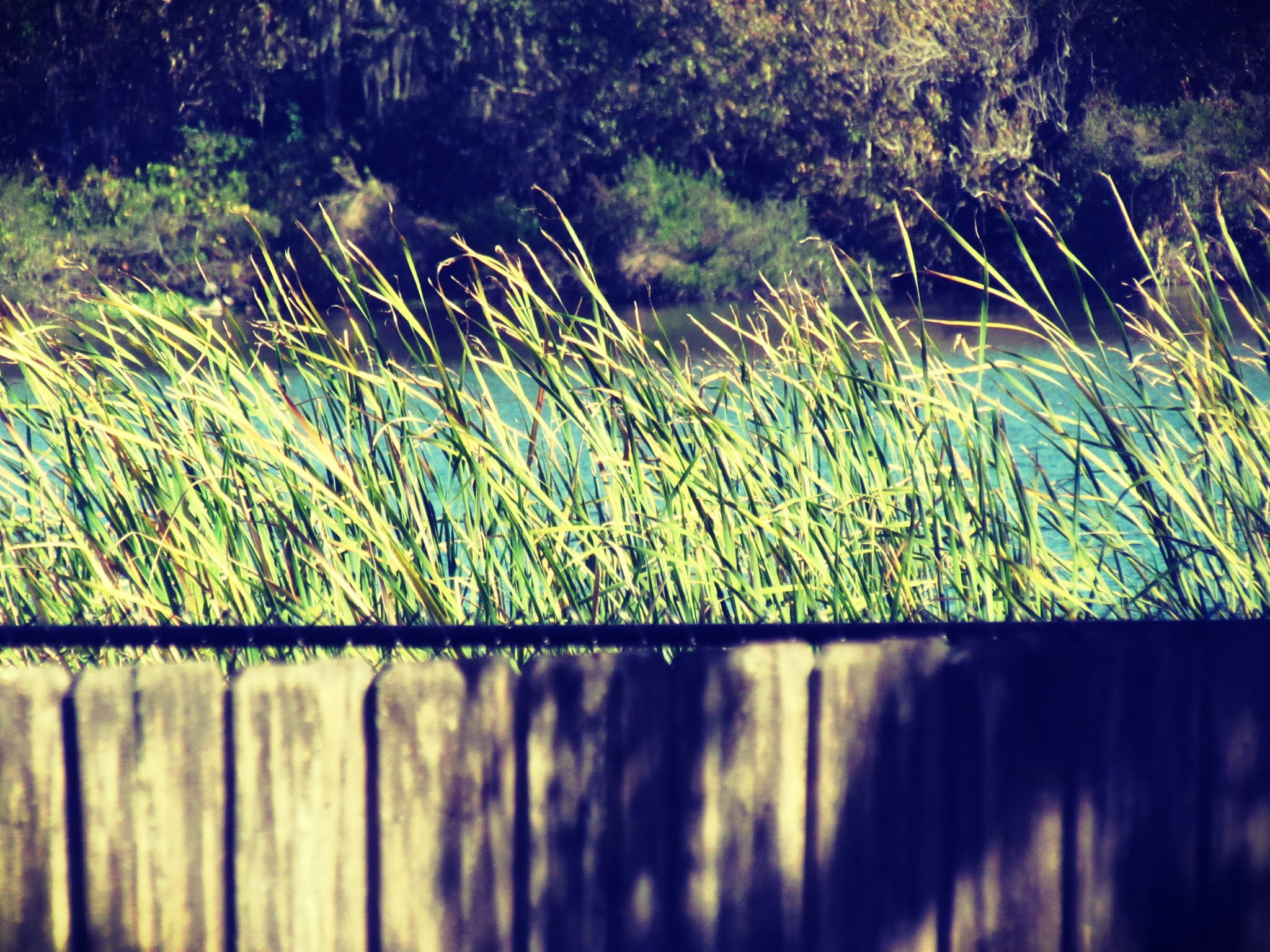 A Florida freshwater lake and bayou, alligator pond, freshwater pond in Florida, Tall sea grasses, wooden fence on the trail