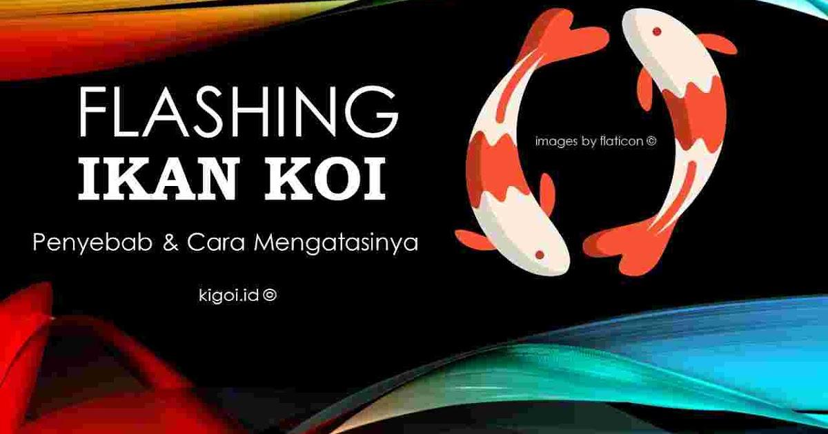 Penyebab Ikan Koi Flashing Dan Cara Mengatasinya Masuk Pak Eko Kigoi