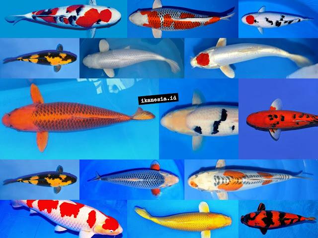 Jenis Ikan Koi Paling Populer