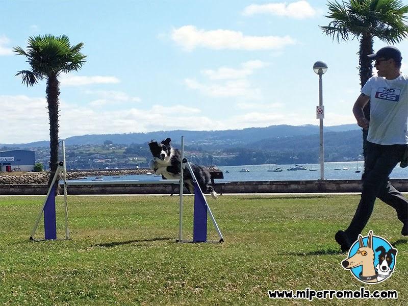 Brea la Border Collie saltando las Vallas Plegables de Galican para Agility