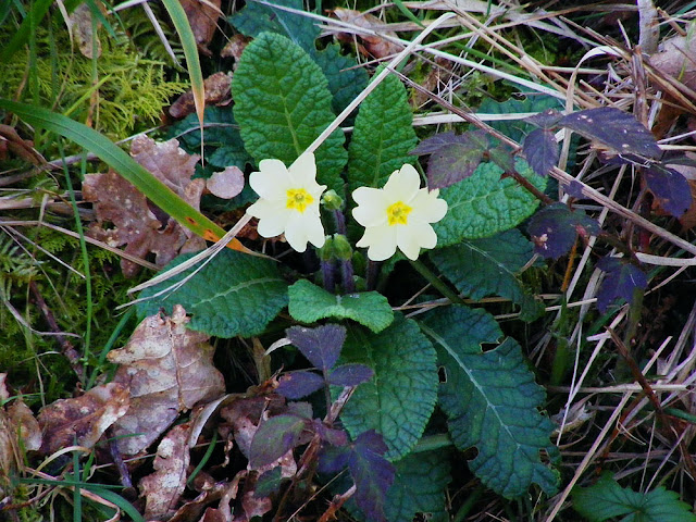 Primrose Primula vulgaris.  Indre et Loire, France. Photographed by Susan Walter. Tour the Loire Valley with a classic car and a private guide.
