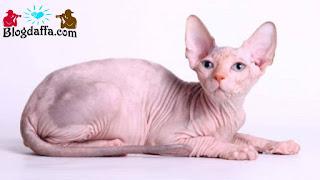Kucing Sphynx atau kucing tanpa bulu