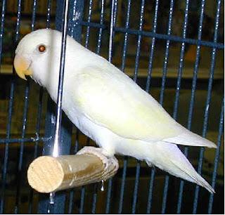 gambar lovebird albino, lovebird albino, albino, gambar albino