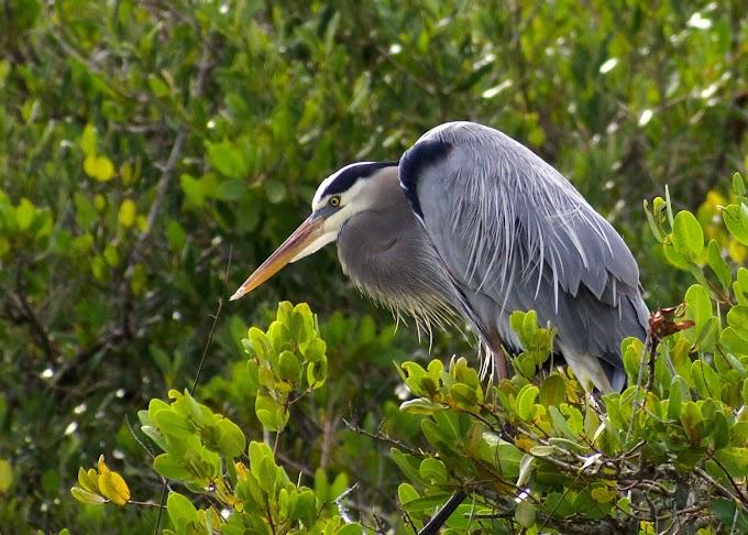 Blue Heron   Merrit Island, Florida