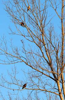 Three hawks in a tree