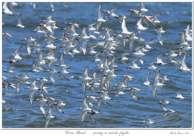 Crane Beach: ... rejoicing in melodic flights...