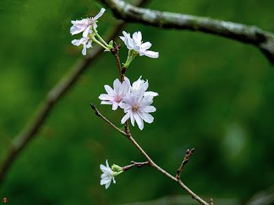 Jyugatsu-sakura (Prunus × subhirtella cv. Autumnalis) flowers: Tokei-ji