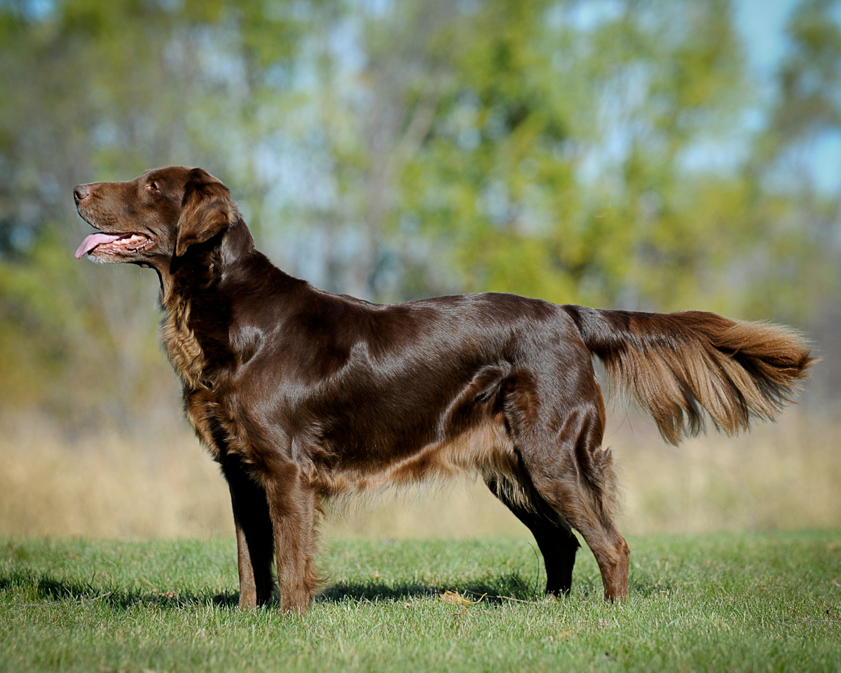 Lil' Dog Whisperer: Flat-Coated Retriever ~ Peter Pan of