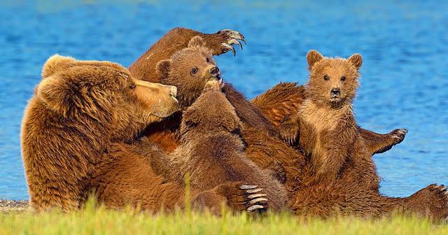 Пара наткнулась на медвежью семью во время похода и сделала их снимки, которые выглядят как кадры из мультика