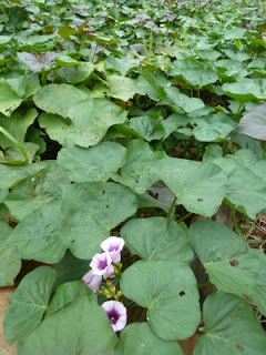 Vardaman sweet potatoes in bloom