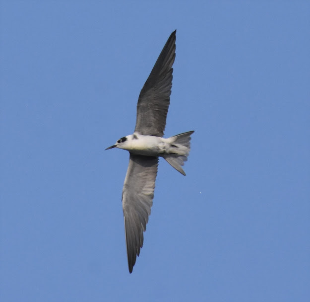 Black Tern at Amado WTP