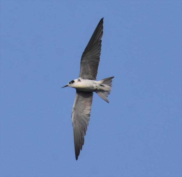 Black Tern at Amado WTP