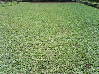 Harga rumput gajah mini murah | tukang rumput gajah mini depok