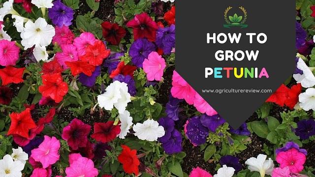 how to grow petunia, petunia care