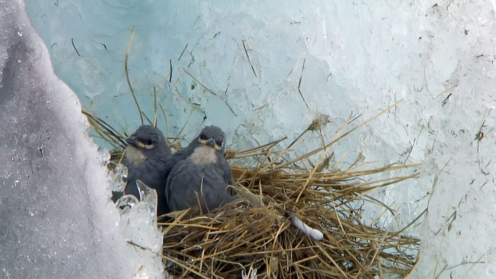 white-winged diuca-finch nest on ice