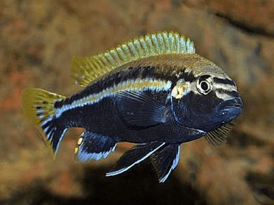 Morfologi dan Perilaku Ikan Niasa