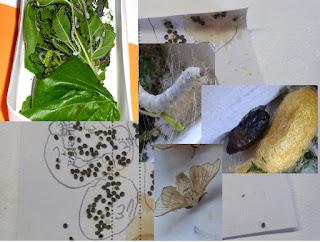 etapas vida gusano de seda
