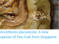 https://sciencythoughts.blogspot.com/2018/10/arcotheres-placunicola-new-species-of.html