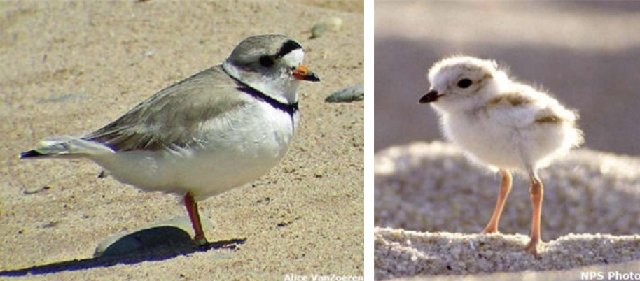 PA Environment Digest Blog: Game Commission: Piping Plovers