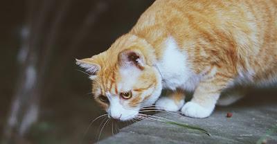 Pankreatitis mačke