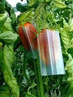 Cara Bikin Buah Tomat Segi Lima