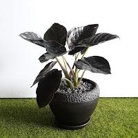 "A COLOCASIA ESCULENTA ""BLACK MAGIC"" – aka Black Elephant Ear in a black pot on a green surface."